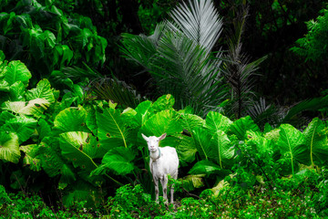 西表島の山羊