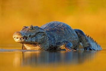 Caiman, Yacare Caiman, crocodile in the river surface, evening yellow sun, Pantanal, Brazil. Wildlife scene with crocodile in South America. Caiman with beautiful light. Crocodile in the river surface