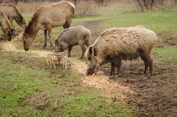 Wild boar on brown background deer grazing