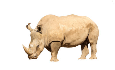 Rhinoceros also known as rhino, Lonely specimen on a isolated white background