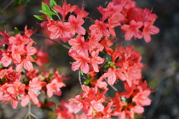 Pink azalea flower bush in the spring garden