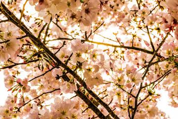 North Carolina cherry blossom