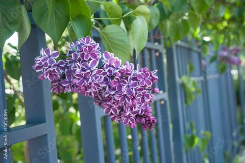 Detail Fleur Mauve De Lilas Dans Un Jardin Stock Photo And Royalty