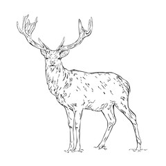 Vector line drawing of a wild deer isolated on white background
