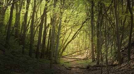A path in the forest, spring green forest in Eastern Europe,