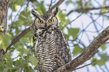 great horned owl on the look out