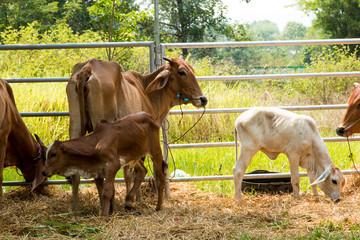 Cattle farm in Thailand