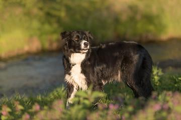 Hund posiert im Grünen - Border Collie