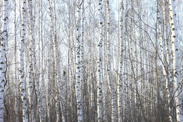 Beautiful birch trees in winter in cold weather