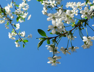 White blossoming cherry tree twigs on a blue sky background.