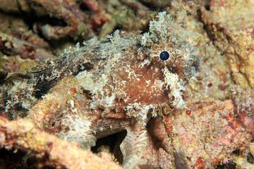Banded Toadfish (Halophryne diemensis). Dampier Strait, Raja Ampat, Indonesia