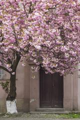 Pink sakura cherry tree in Uzhgorod