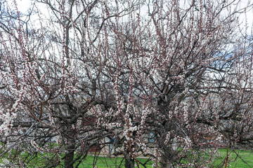 Blossoming spring tree of cherry. Season of cherry blossom.