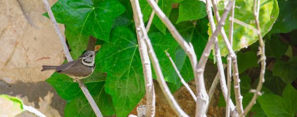 Lophophanes cristatus. Birdwatching.