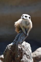 Meerkat on lookout