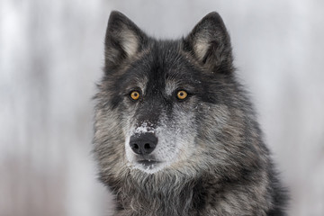 Black Phase Grey Wolf (Canis lupus) Portrait