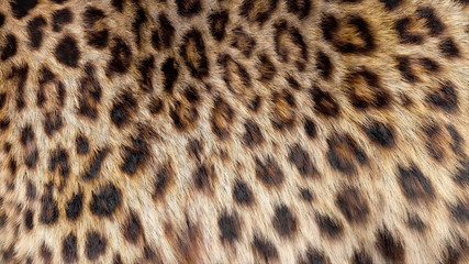 Beautiful leopard fur blowing on the wind, luxury abstract natural texture, close up macro shot of animal hair.