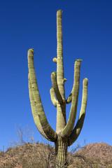 Saguaro National Park in Arizona