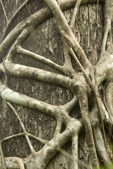 Roots of a strangler fig tightly grip a Florida cypress.
