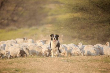 Border collie front of herd of sheep