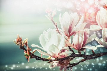 Wall Murals Magnolia Amazing magnolia blossom with bokeh light, springtime nature background, floral border, front view, outdoor nature in garden or park. Floral border
