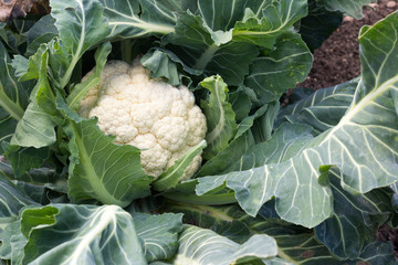 Head and leaves of a cauliflower - copy space provided
