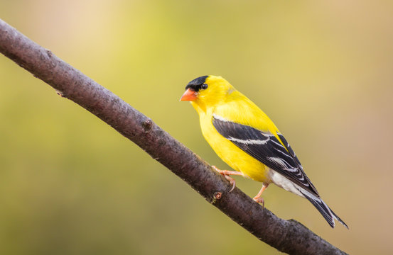 American Goldfinch (Spinus Tristis) male perched on branch closeup