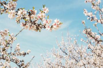Almond trees in bloom in Spain, selective focus