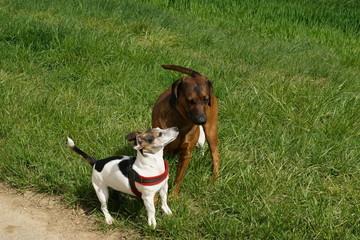 Jack Russel Terrier u Bayrischer Gebirgsschweißhund 4