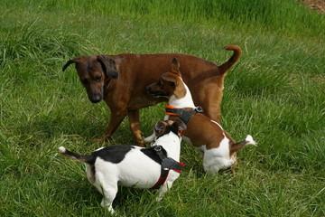 Hundetreffen - verspielt - vergnügt - sich vertragen