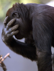 Young gorilla male Ashmar covers his eyes with his hand during his first walk outside his cage in Bl..