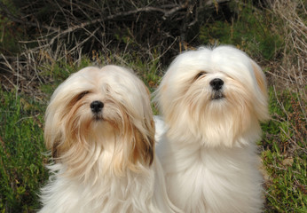 Portrait of two lhasa apso dogs