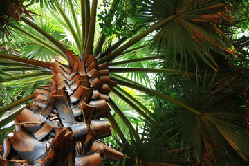 Caranday Palm Tree viewed from ground
