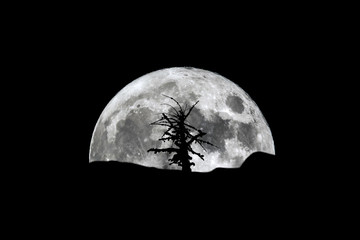 Full moon rising over silhouette of dry tree