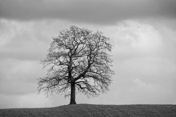 Einzelne Eiche im Frühjahr auf einer Wiese mit einem dunklen, dramatisch bewölkten Himmel darüber, European quercus, schwarzweiß