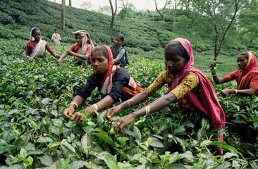 Women pluck green leaves at a tea garden in Bangladesh's northeastern Sylhet district November 12. B..