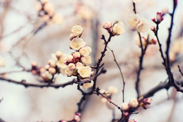 Apricot spring tree flower, seasonal floral nature background