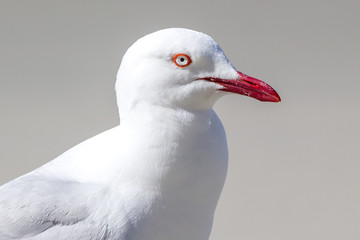 closeup of adult silvergull with red beak and eye ring