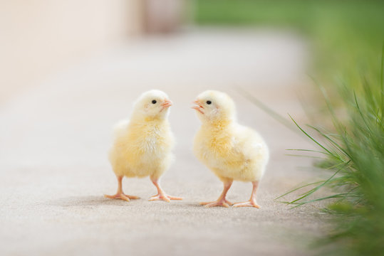 two adorable chicks outdoors