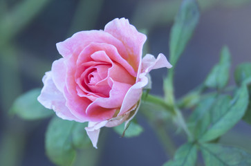 Shades of Pink Rose