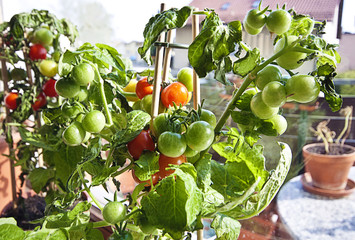 Gardening, cherry tomatoes on plant ready to harvest