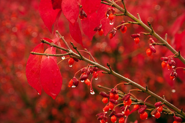 Burning Bush in the Rain