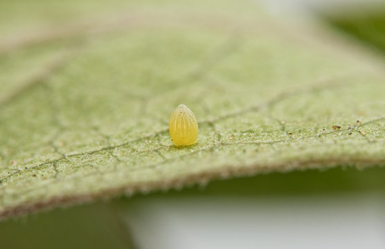 Monarch butterfly egg attached to a Milkweed leaf, getting ready for the caterpillar to hatch