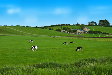 Cows on a green field in UK