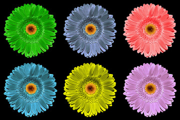 Pack of colored gerbera flowers macro isolated on black