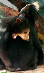 Two of the three Cambodian Sun Bears play in the quarantine cage at Sydney's Taronga Zoo February 18..