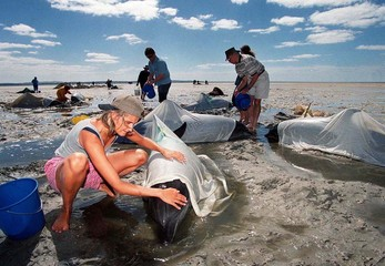 RESCUERS TRY TO SAVE BEACHED DOLPHINS IN AUSTRALIA.