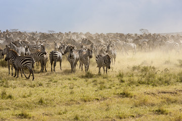Zebra and Wildebeest herds during migration in Serengeti national park Tanzania Africa