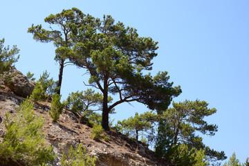 pinjeträdmedelhavet, karpathos, grekland