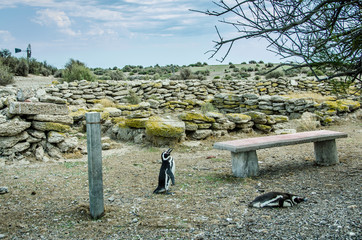 Magellanic penguins wander past the ruins of a seal hunters' dwelling dating from the early 20th Century in Peninsula Valdes in Patagonia, Argentina.